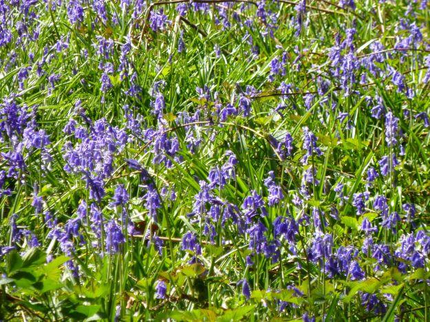 London slant bluebells
